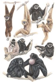 Gibbons Plate